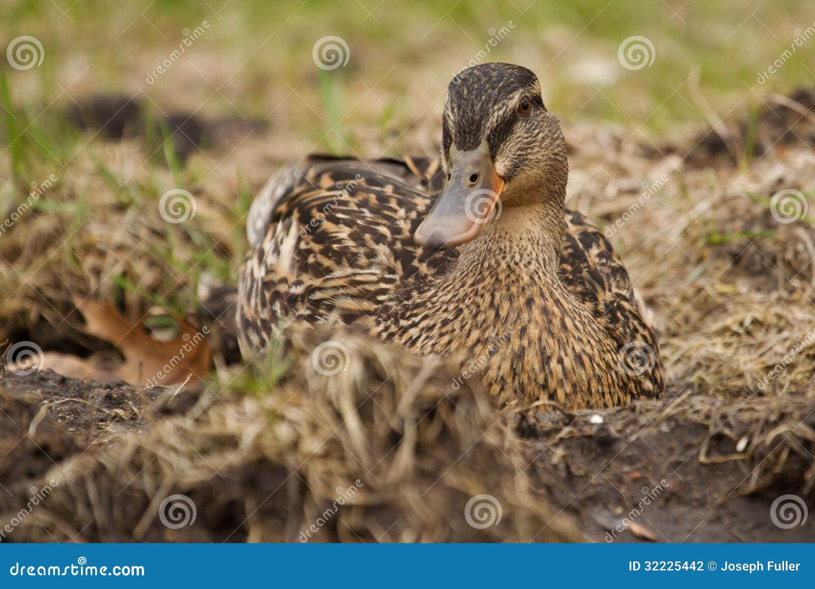 Download Pato selvagem na grama foto de stock. Imagem de cute - 32225442