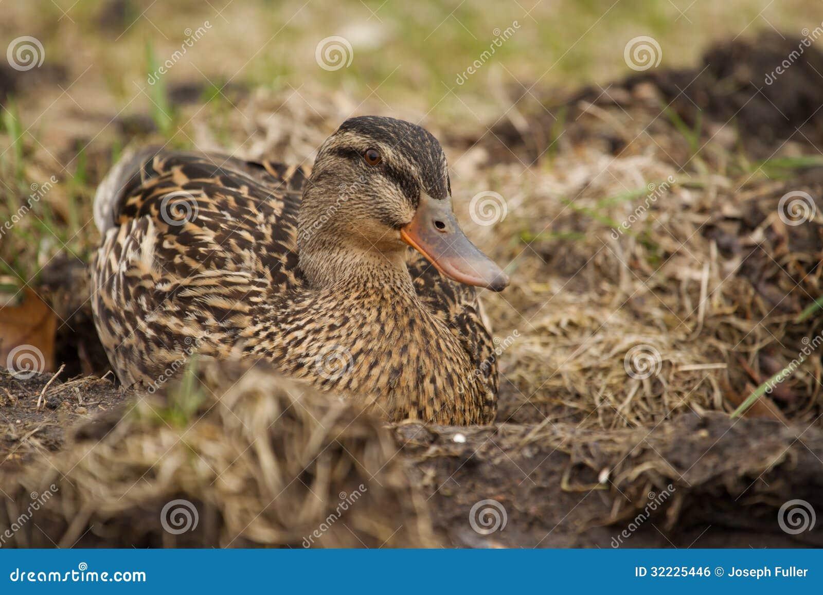 Download Pato selvagem na grama foto de stock. Imagem de marrom - 32225446