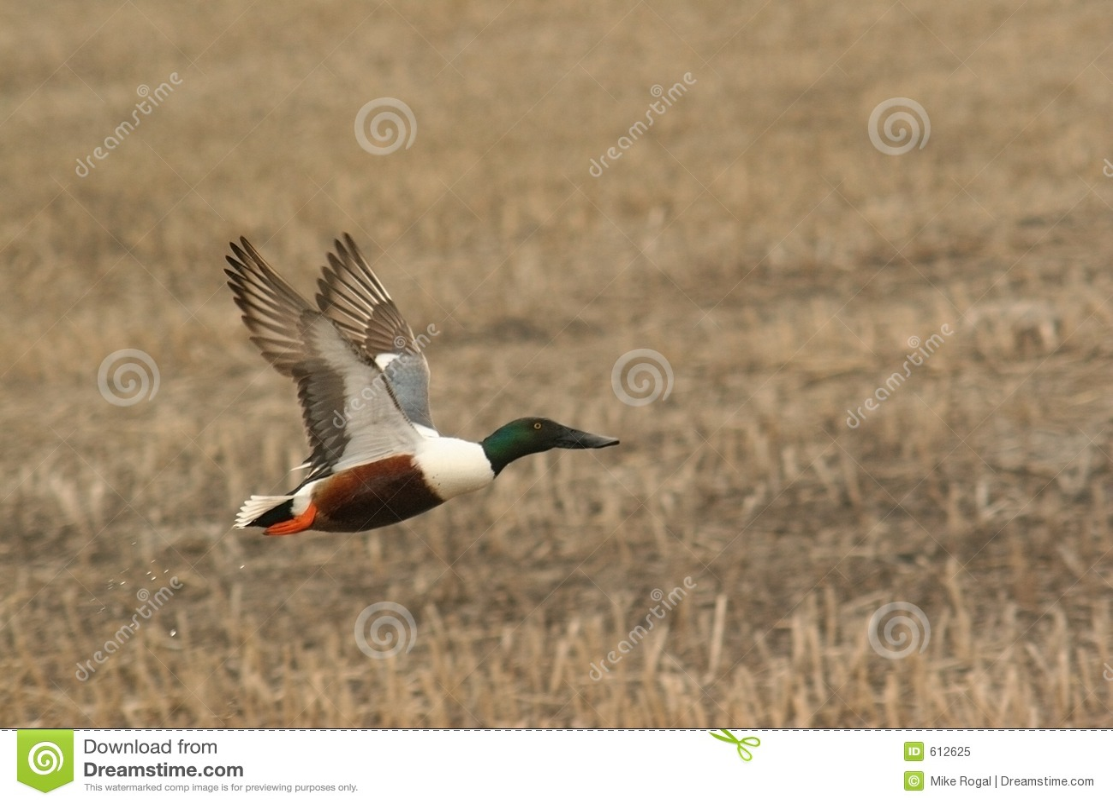 Pato selvagem no vôo