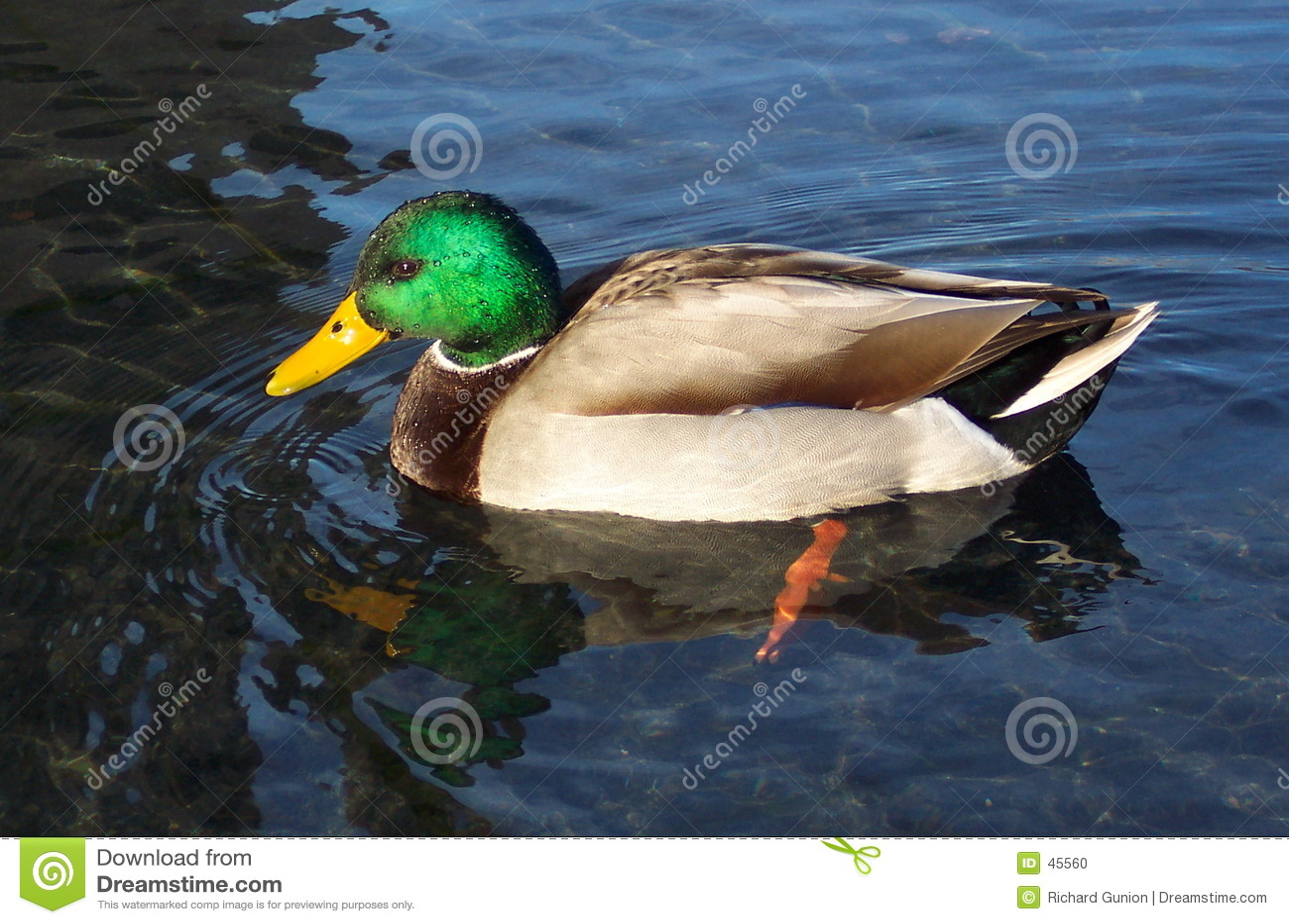 Pato silvestre hermoso Drake