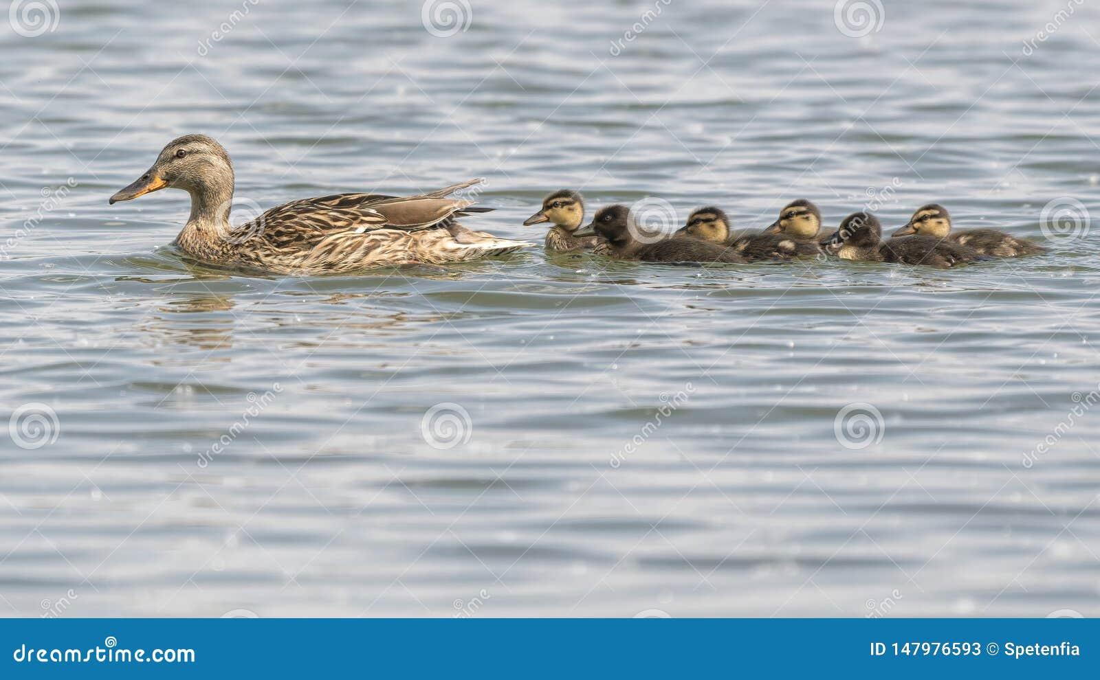 Pato y anad?n en el lago