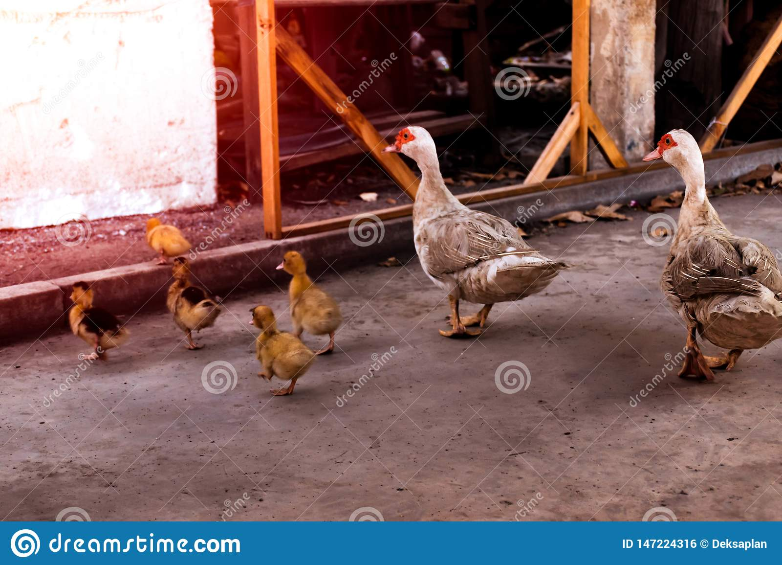 Pato y anadones de la madre El caminar de los patos del beb?