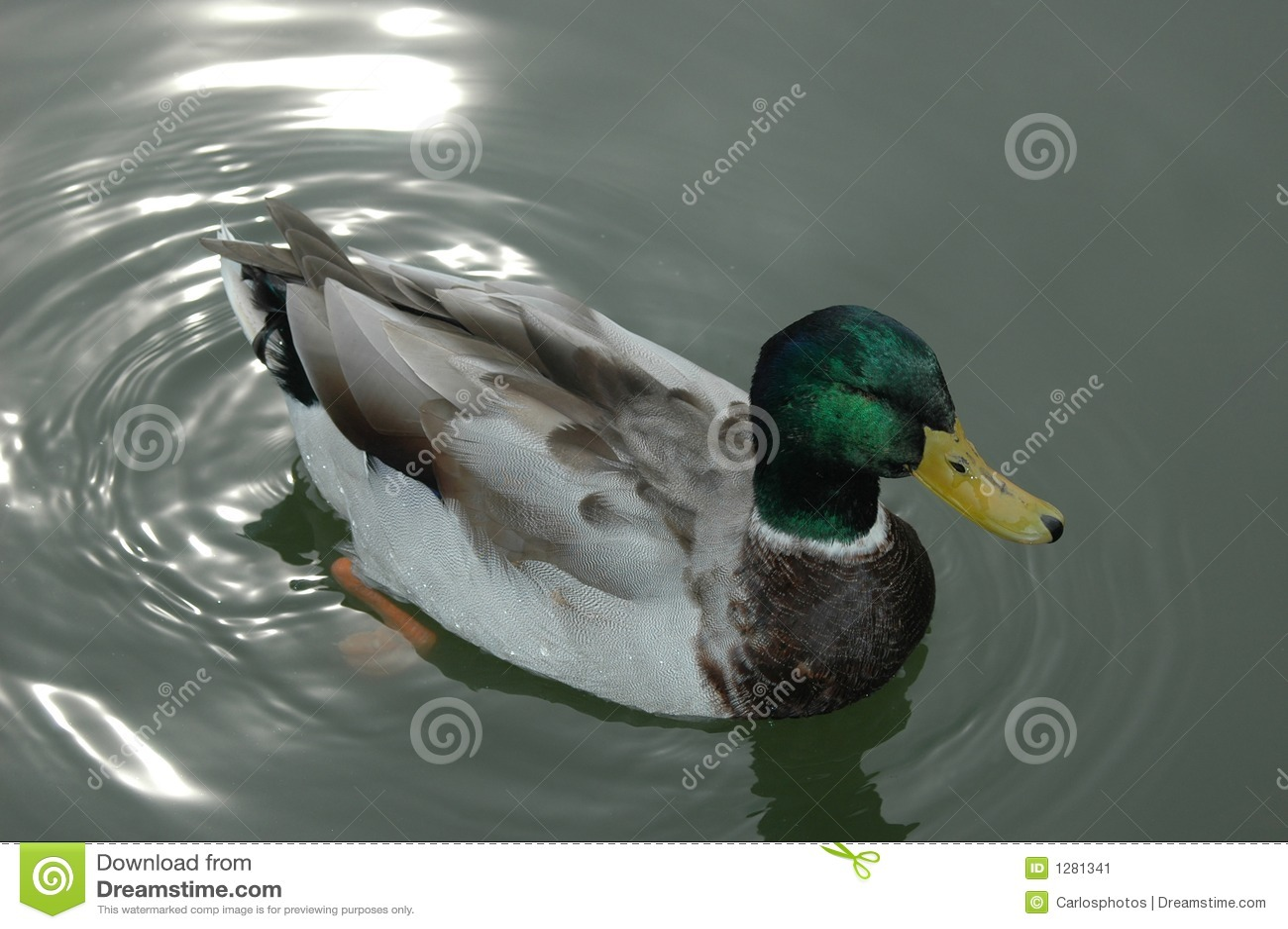 Download Pato y reflexiones imagen de archivo. Imagen de pato, primer - 1281341