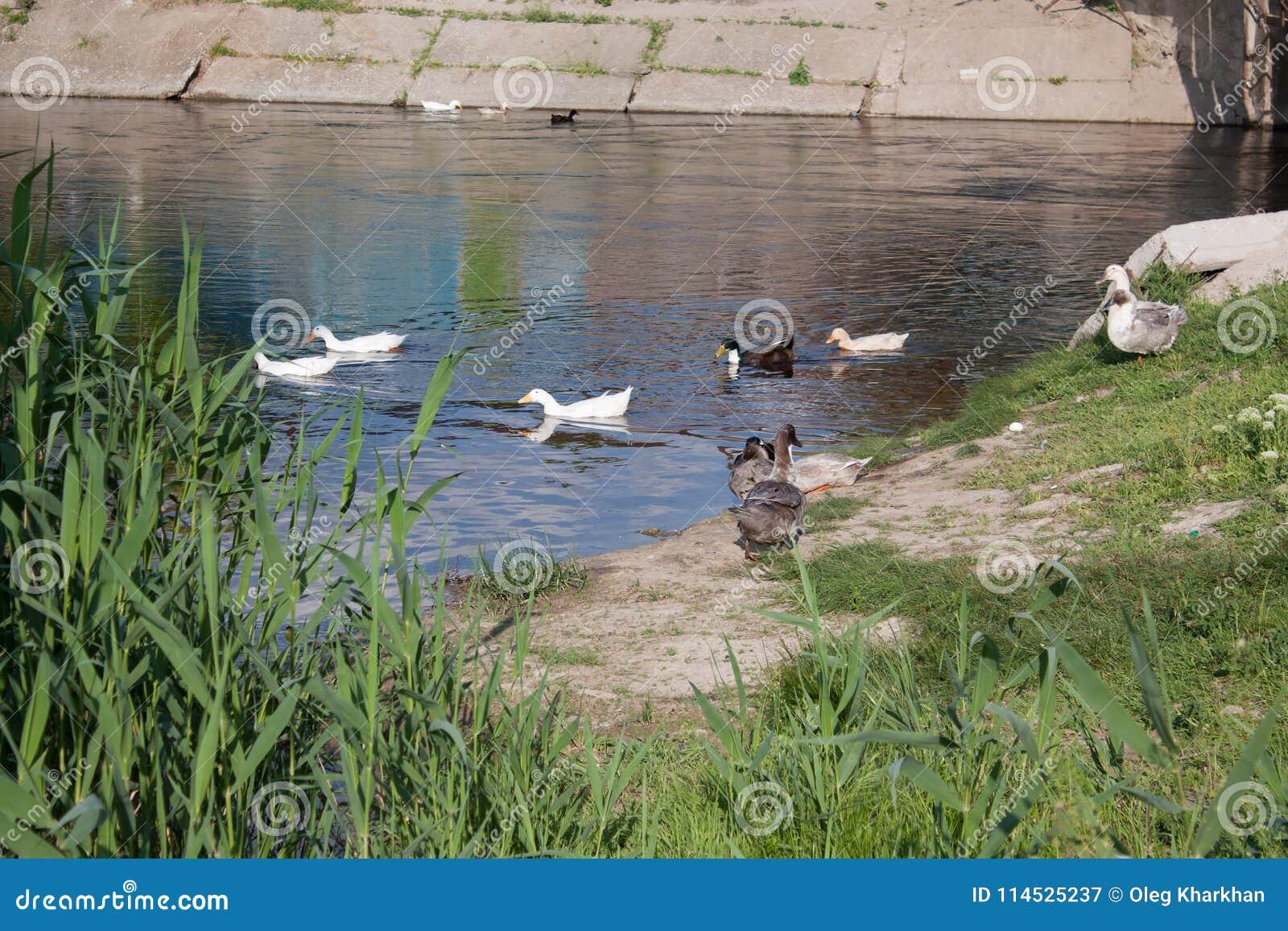 Patos blancos y abigarrados