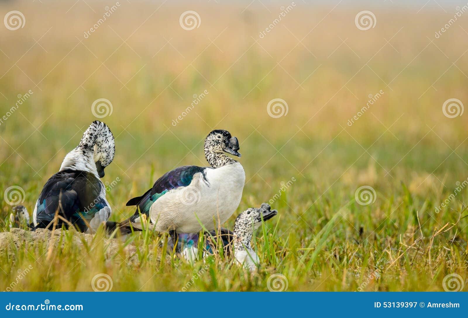 Patos Botão-faturados