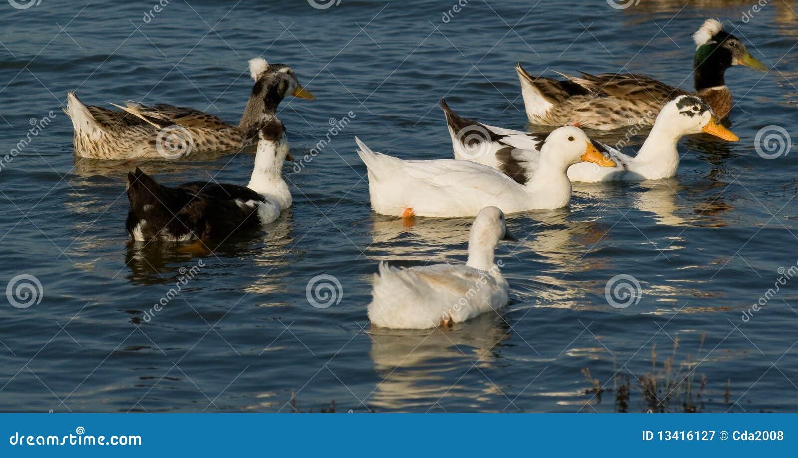 Patos con cresta