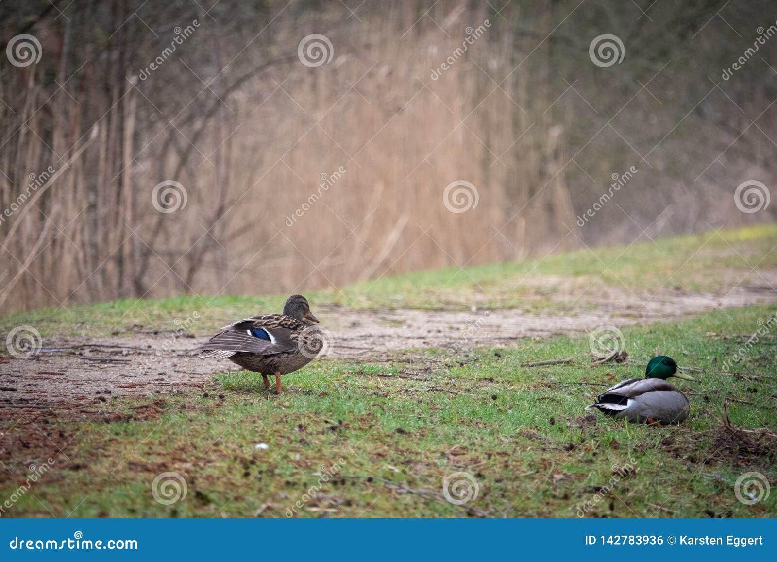 Patos del pato silvestre en un banco
