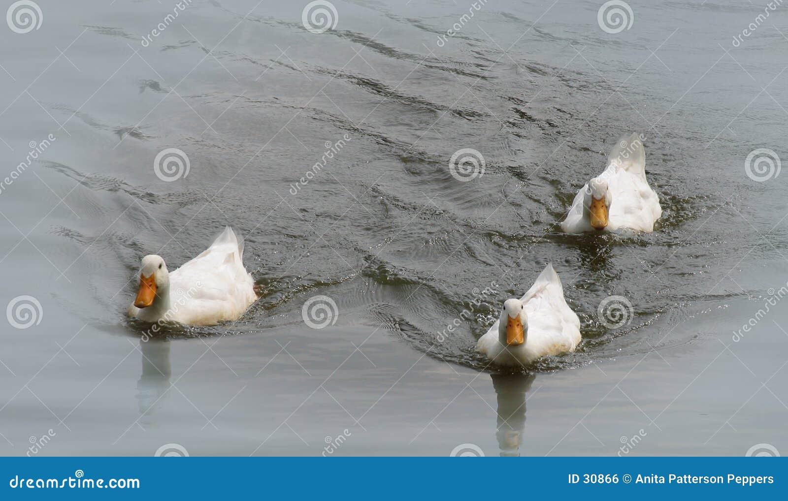 Patos em uma lagoa