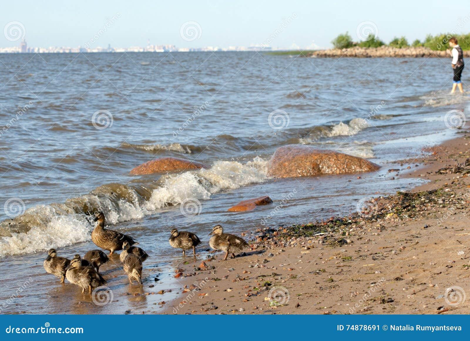 Patos na praia