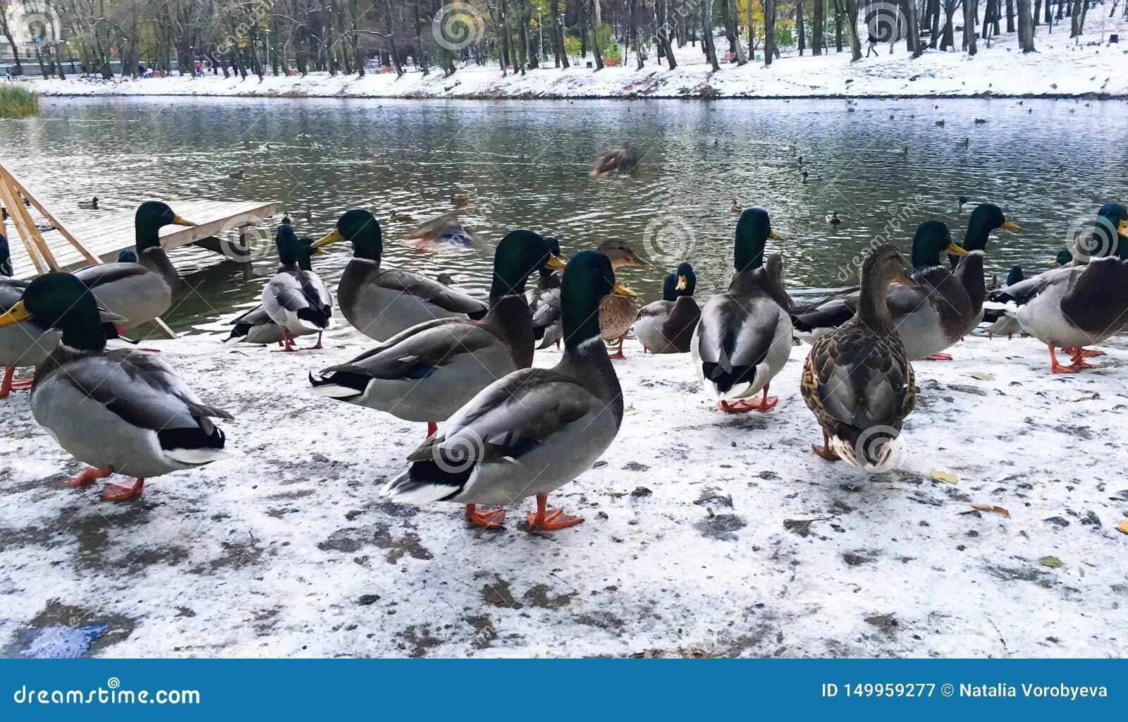 Patos no rio do inverno, wintering na cidade