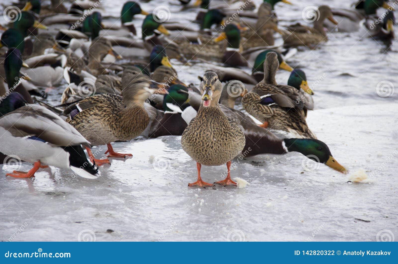 Patos no rio