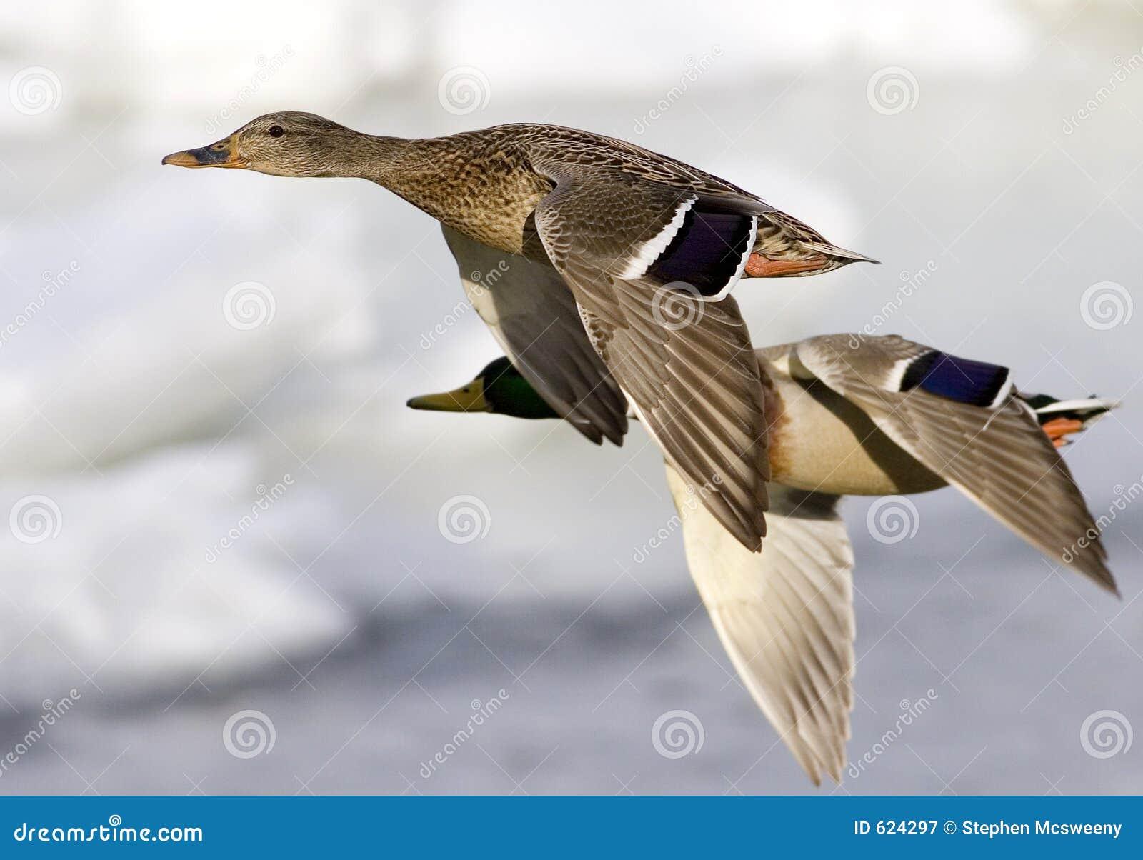 Patos no vôo