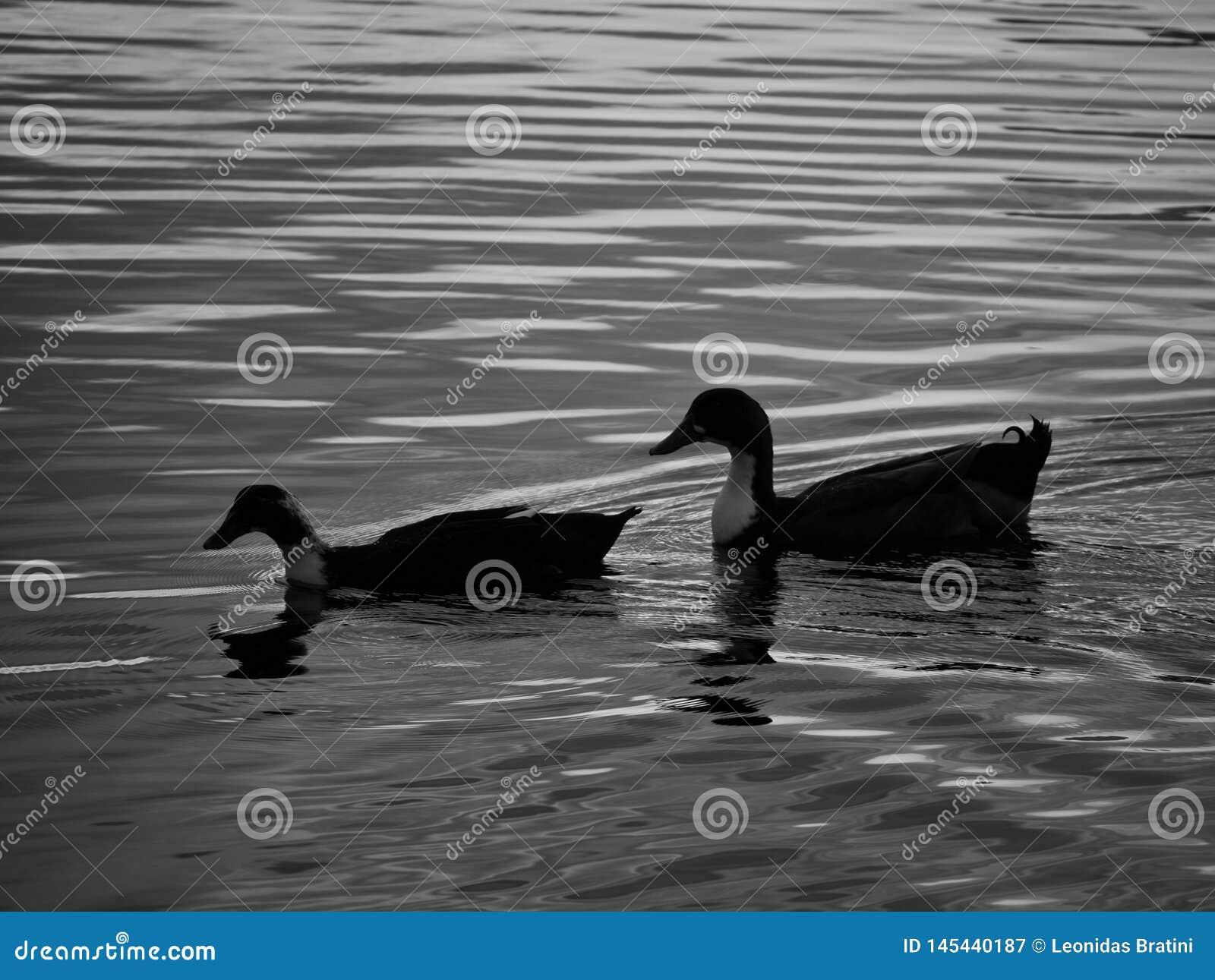 Patos que nadam no lago
