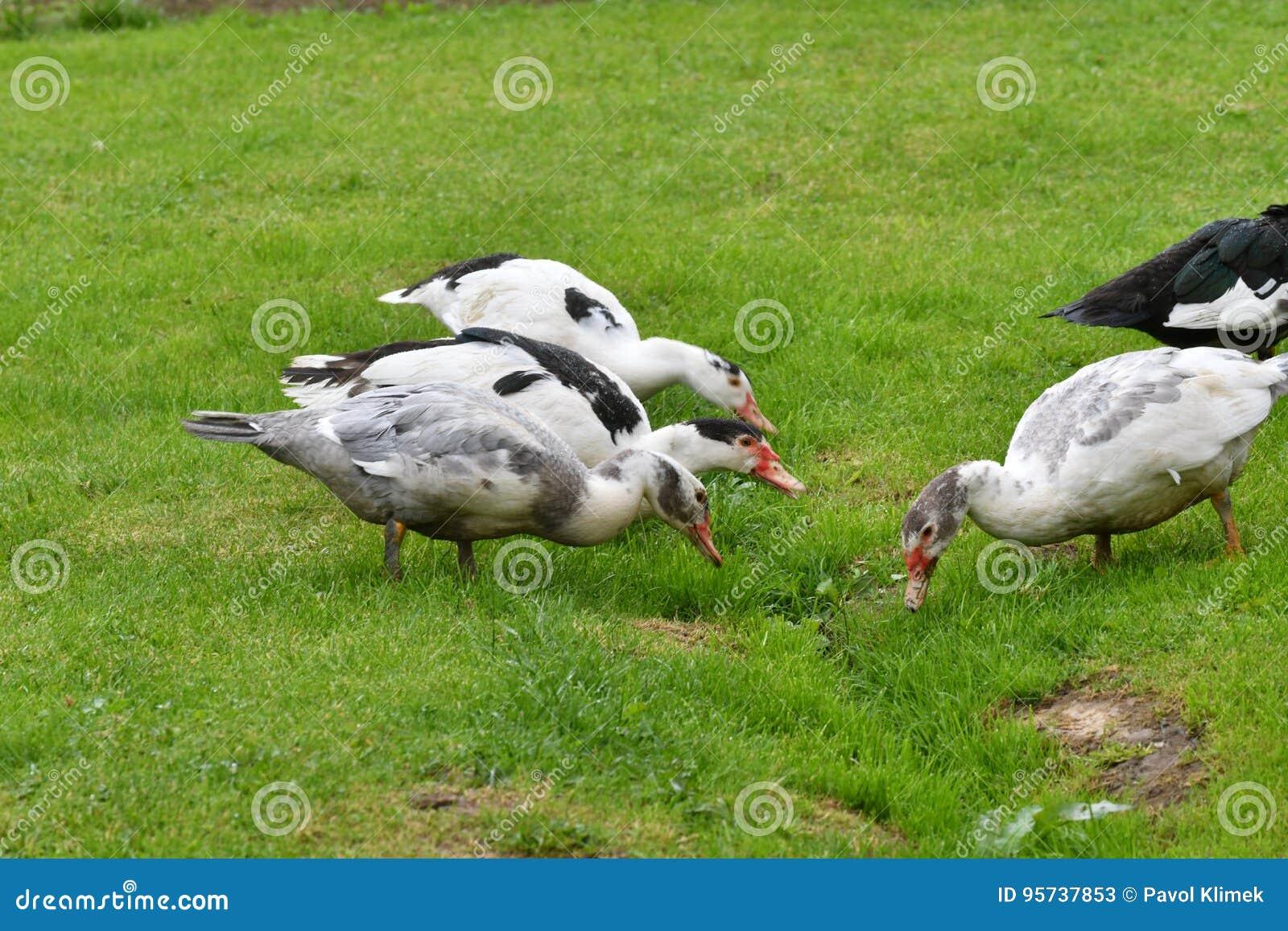 Patos que pastan la hierba