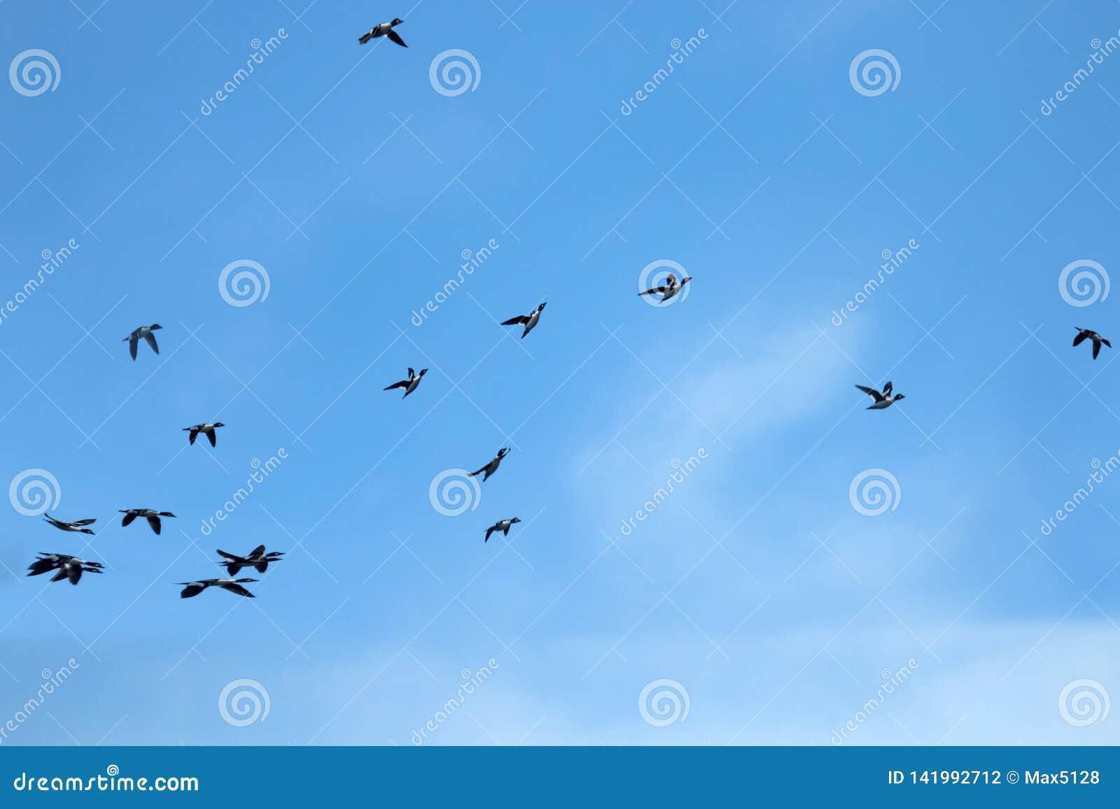 Patos rapidamente de voo