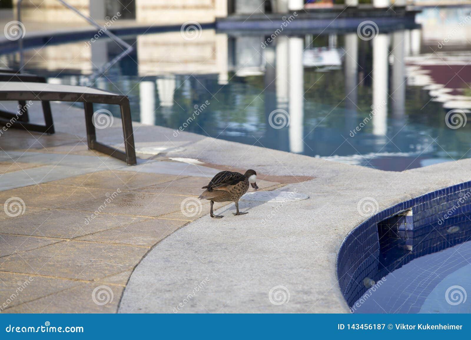 Patos salvajes en la piscina en la República Dominicana