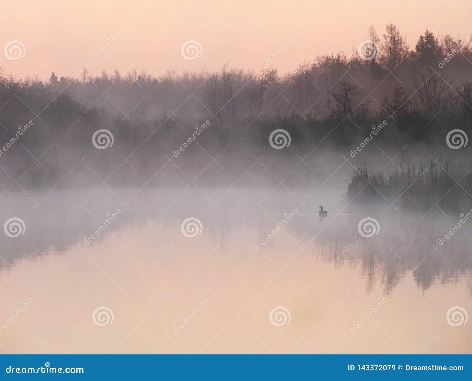 Patos selvagens na névoa da manhã