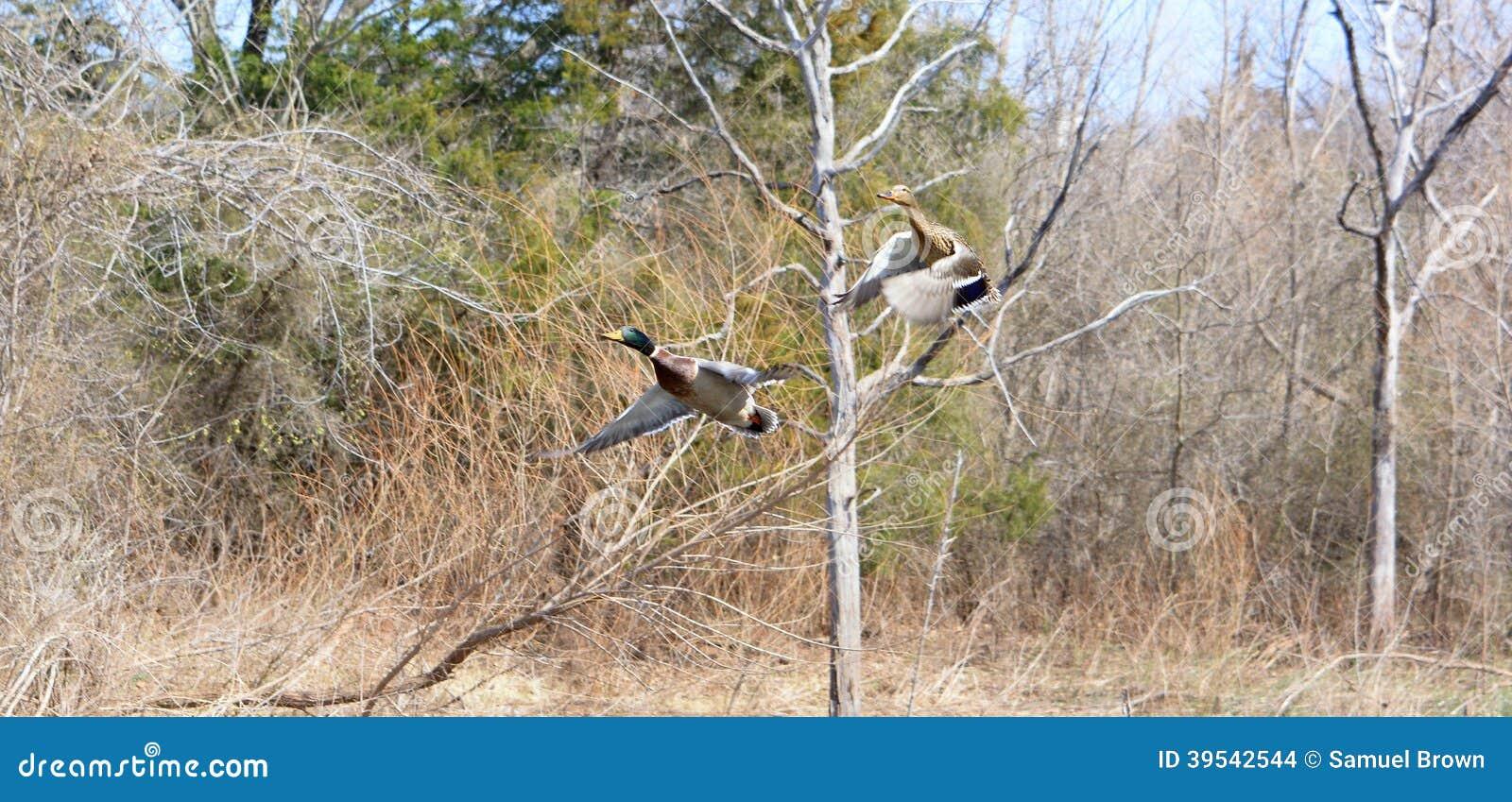 Patos selvagens no movimento