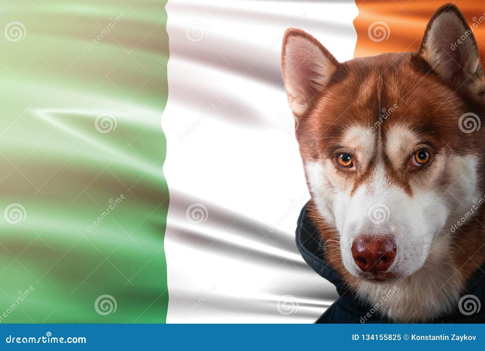 Patriotischer Hund stolz vor Irland-Flagge Porträtsibirischer husky im Sweatshirt in den Strahlen des hellen Sonnenscheins