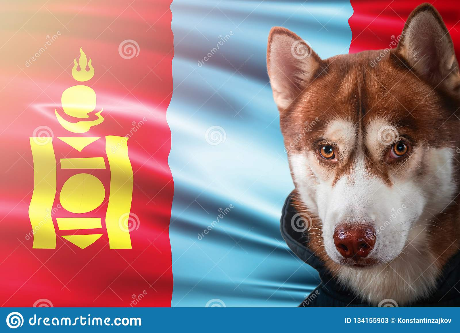 Patriotischer Hund stolz vor Mongolei-Staatsflagge Porträtsibirischer husky im Sweatshirt in den Strahlen des hellen Sonnenschein