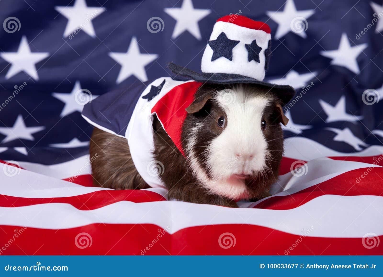 Patriotisches amerikanisches Meerschweinchen Cavia porcellus