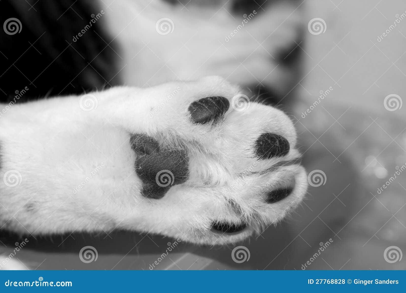 Patte blanche velue simple de chat