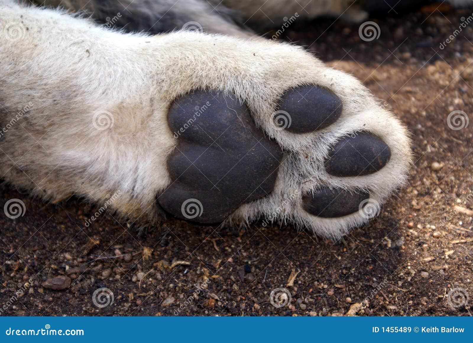 Patte d 39 animal de lion image stock image du pr dateur 1455489 - Patte de lion ...