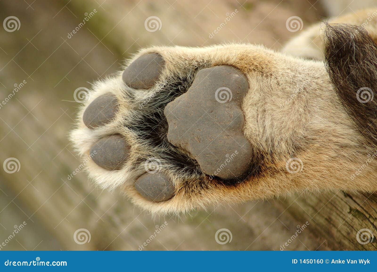 Patte de lion photo stock image 1450160 - Patte de lion ...
