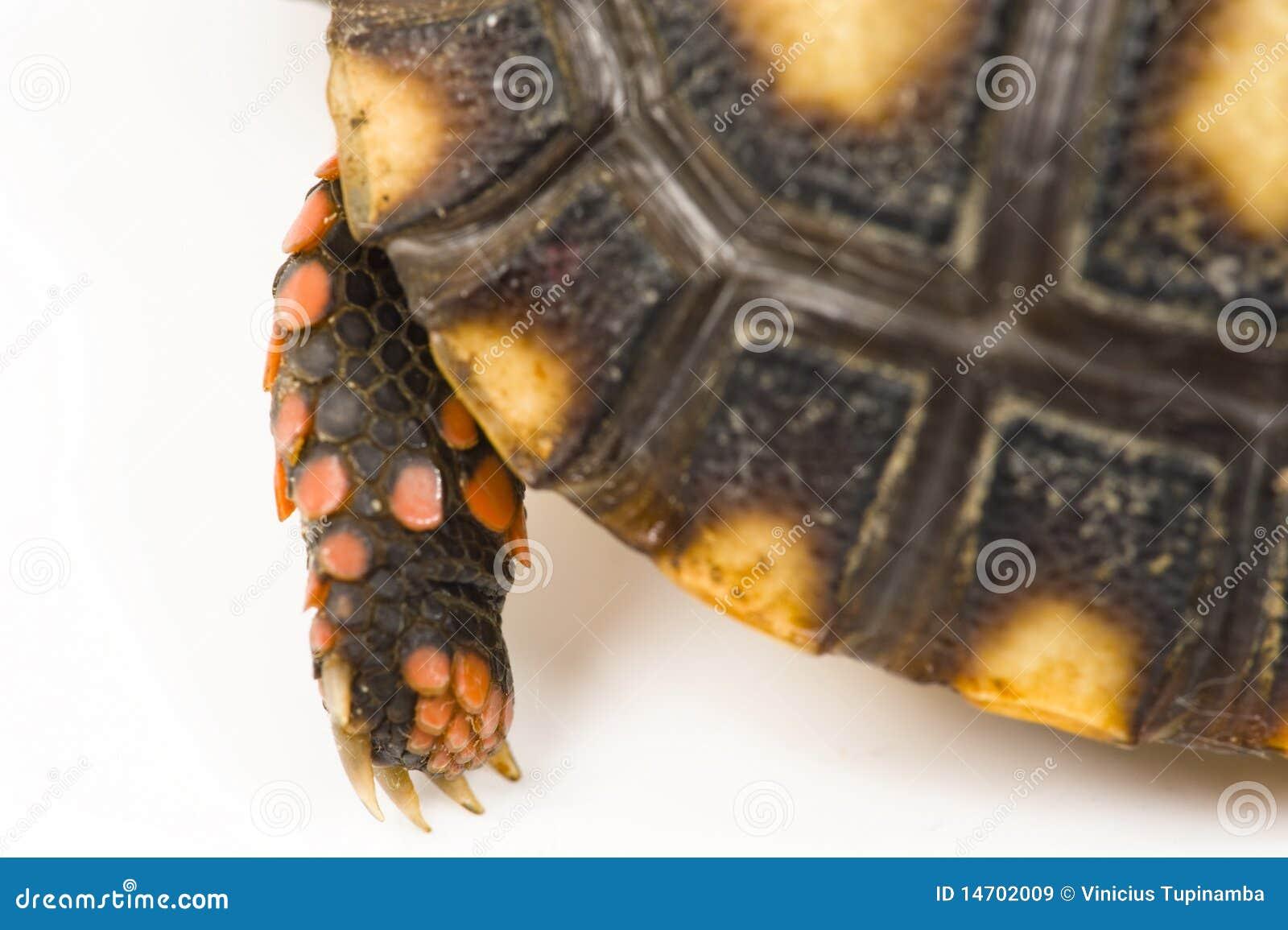 Patte de tortue