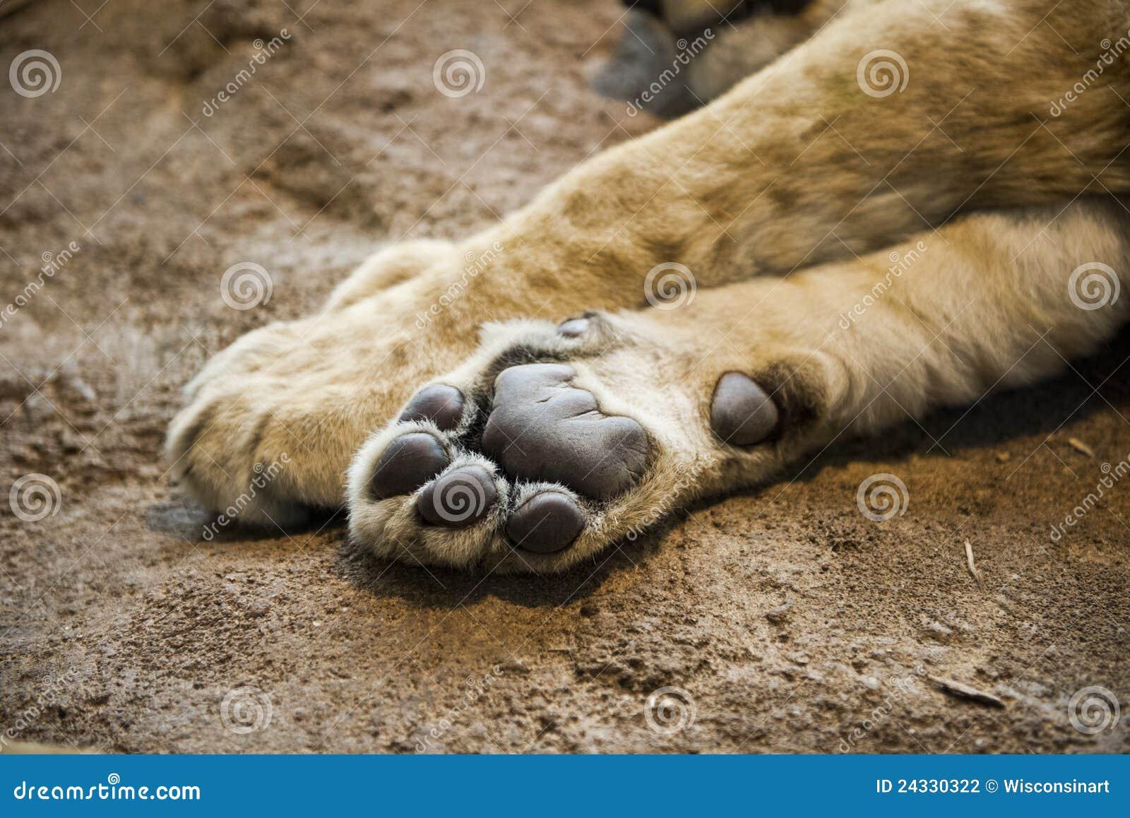 Patte ou pied de lion de d tail de plan rapproch photographie stock image 24330322 - Patte de lion ...