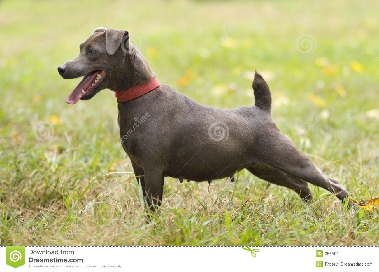 Patterdale Terrier Stock Image - Image: 256581