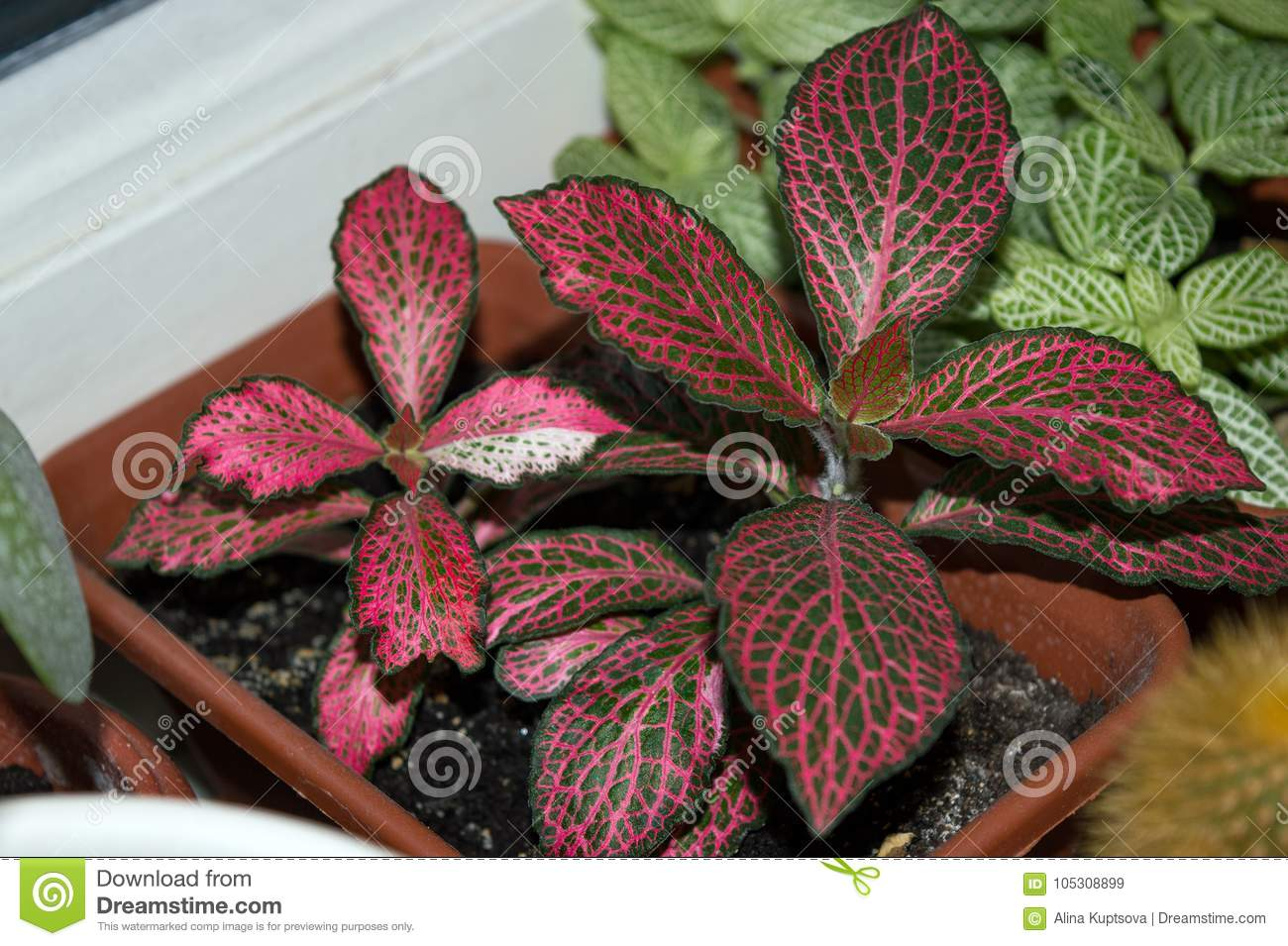-plant With Red Veins Growing On Window Sill Stock ... on red foliage flowers, red foliage bushes, red foliage grasses, red foliage annuals, red foliage hibiscus, common indoor houseplants, red foliage plants, red and green houseplants, red foliage perennials, red flowering houseplants, red foliage vines,