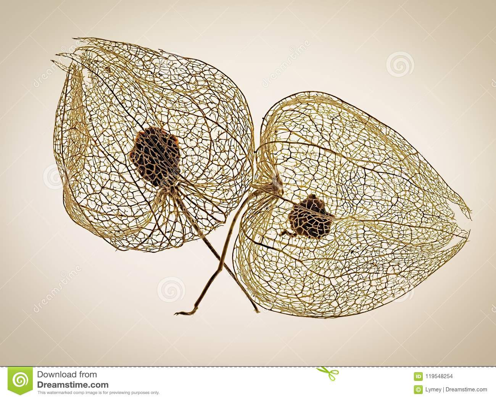 Patterns In Nature - Chinese Lantern Seedheads