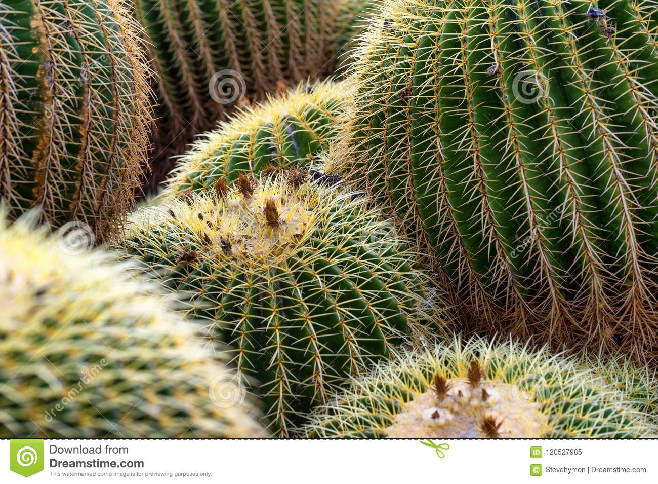 Patterns in a patch of barrel cactus