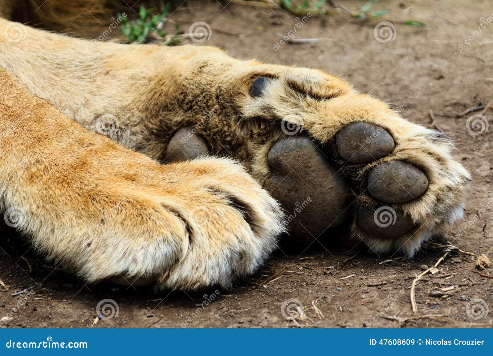 Pattes de lion image stock image du mammif res griffe 47608609 - Patte de lion ...