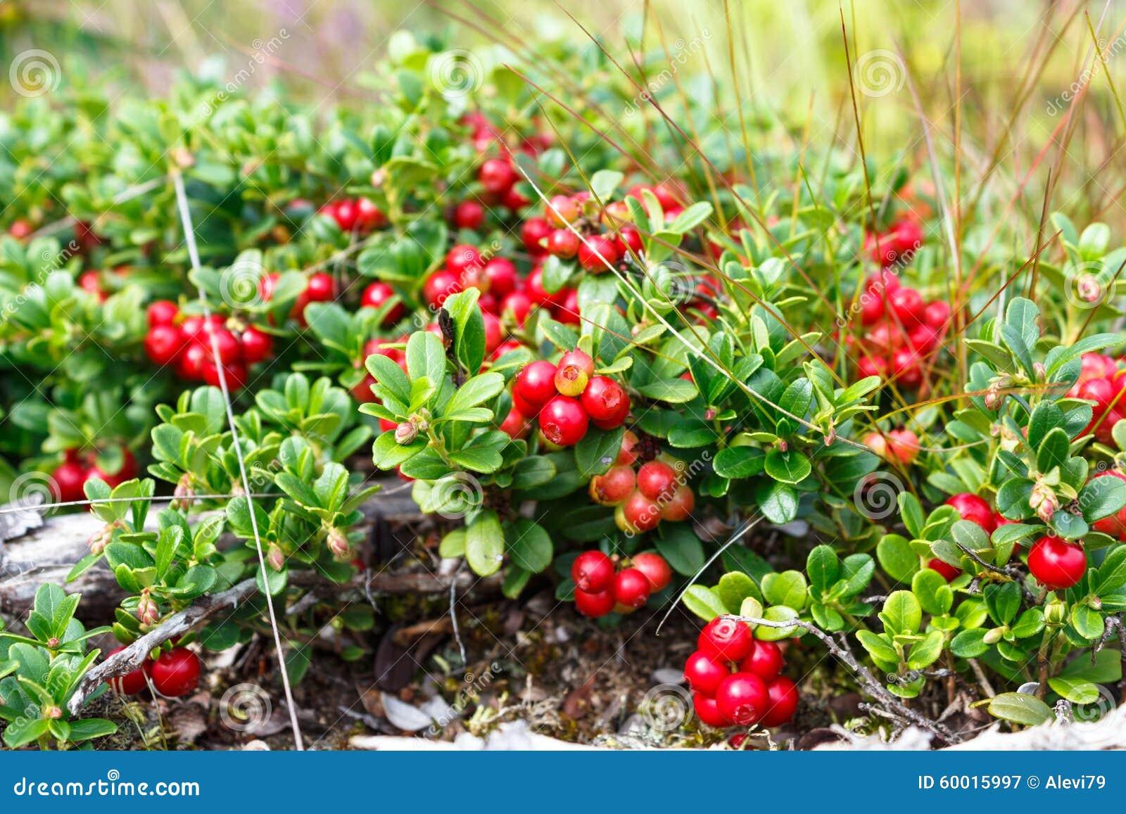 patulent lingonberry bush stock image image of green 60015997. Black Bedroom Furniture Sets. Home Design Ideas
