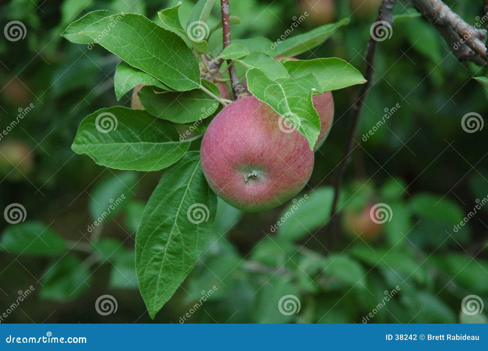 Paula-rote Äpfel auf dem Baum