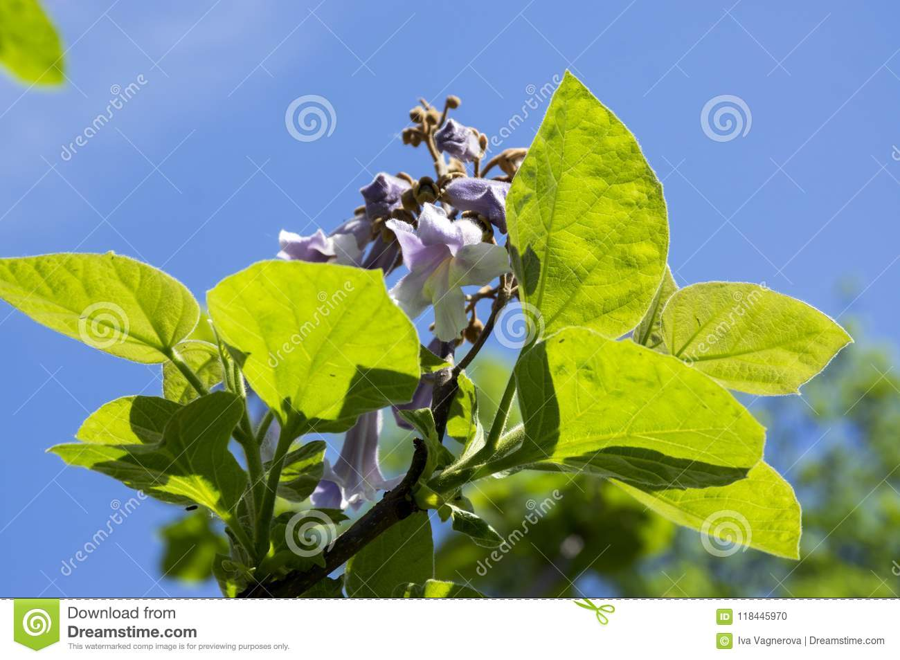 Paulownia Tomentosa Ornamental Flowering Tree Branches With Green