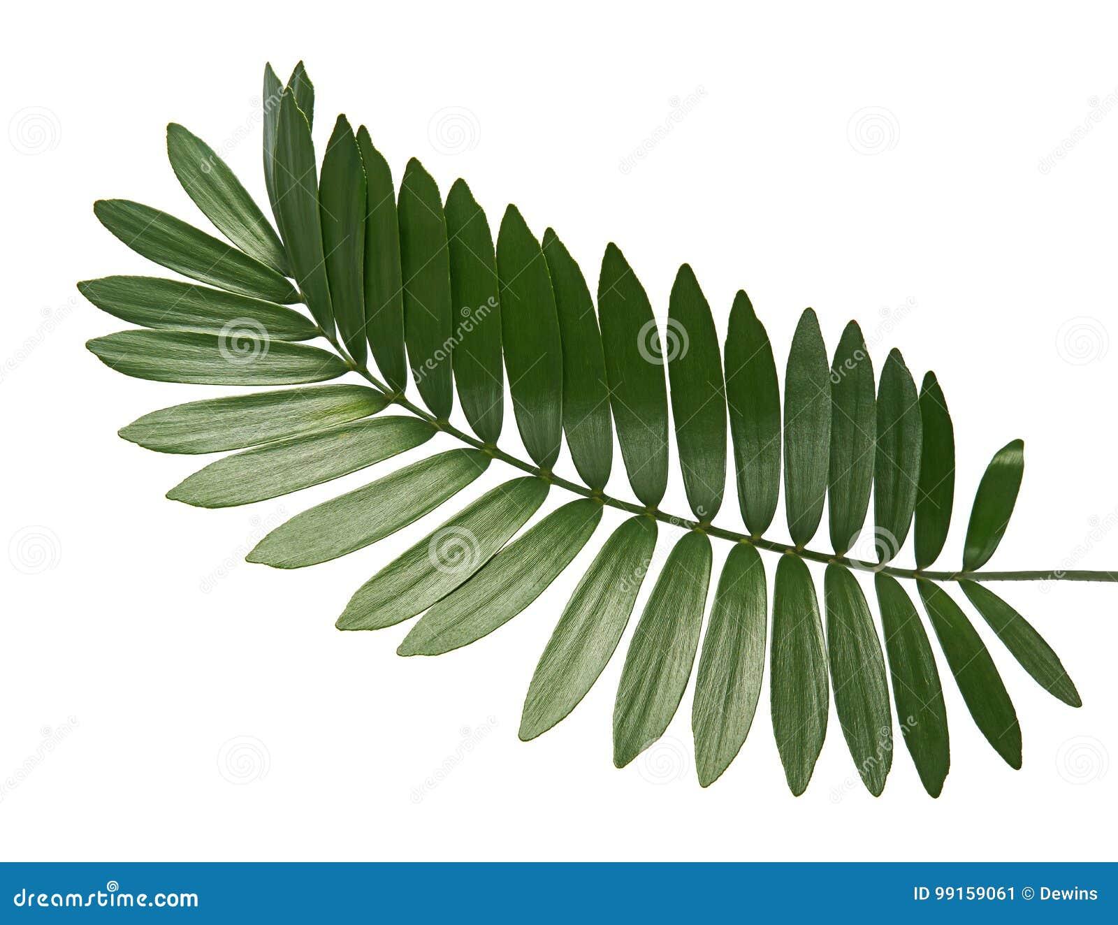 Paume de carton ou furfuracea de zamia ou feuille mexicaine de cycad d isolement sur le fond blanc