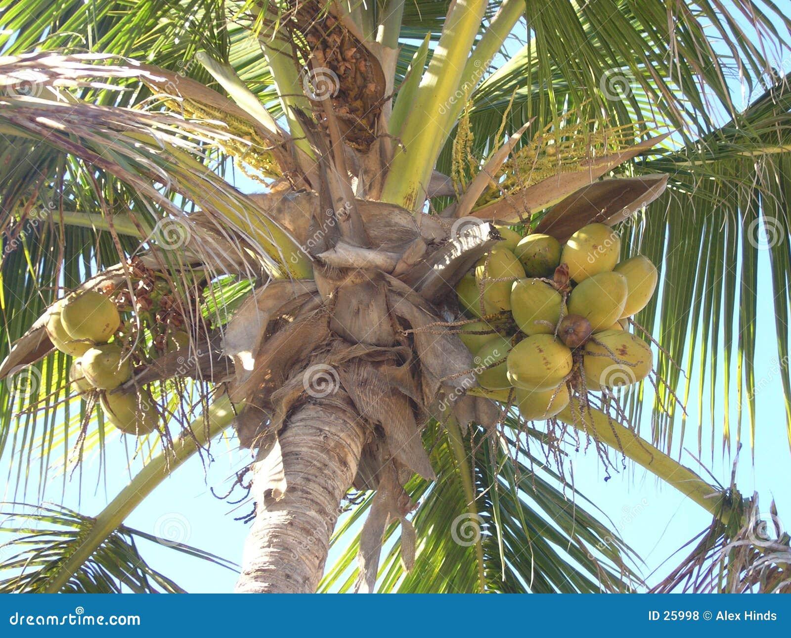 Paume et noix de coco