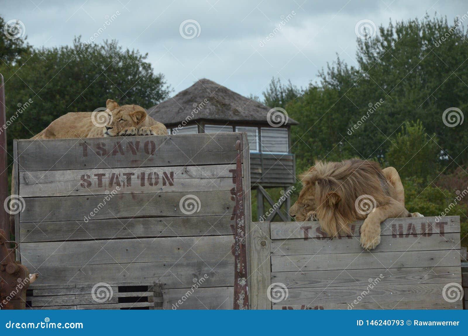 Pause de midi avec les lions sur le train