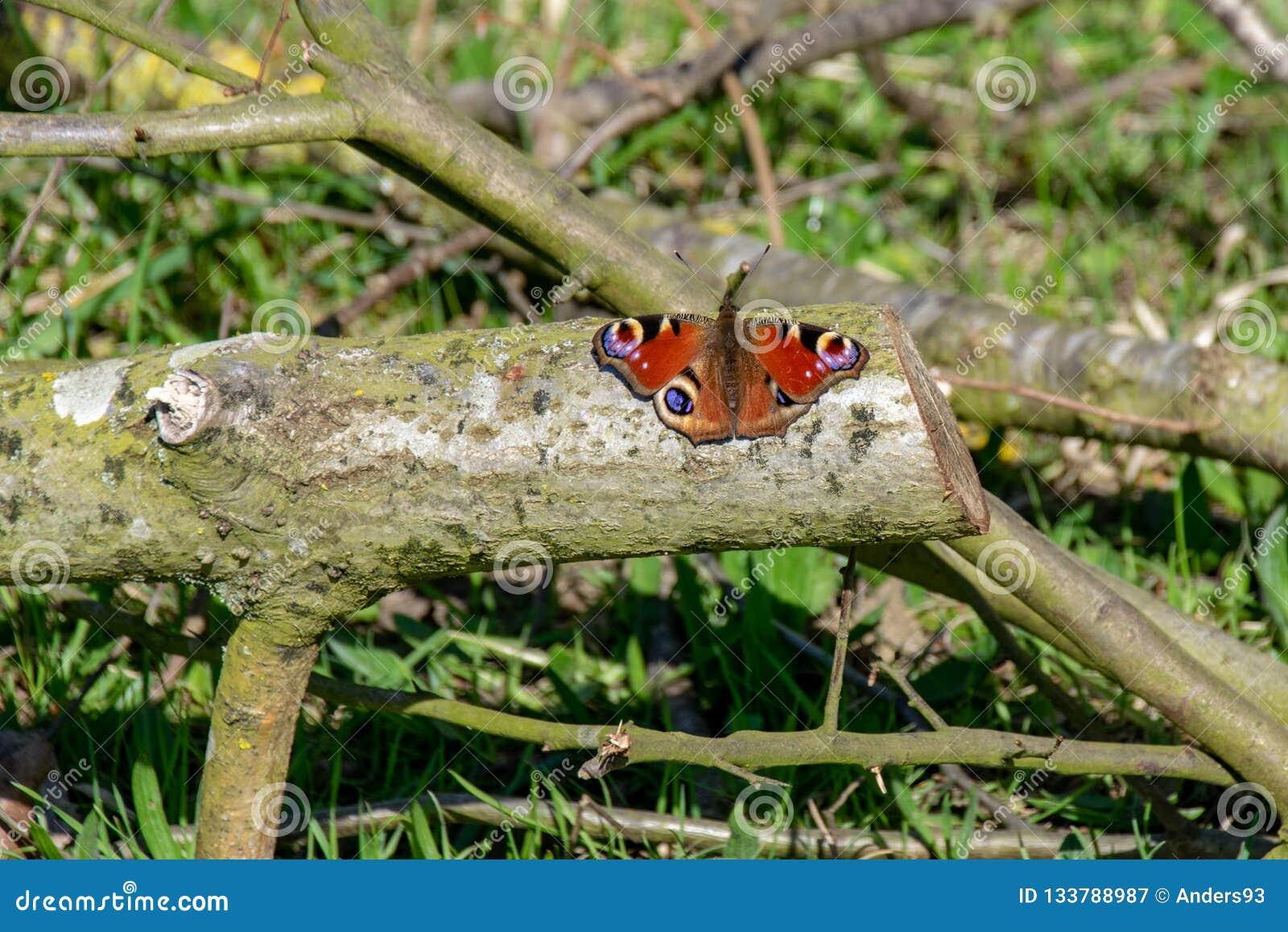 Pauwvlinder & x28; Inachis io& x29; het rusten op houten logboek met uit st