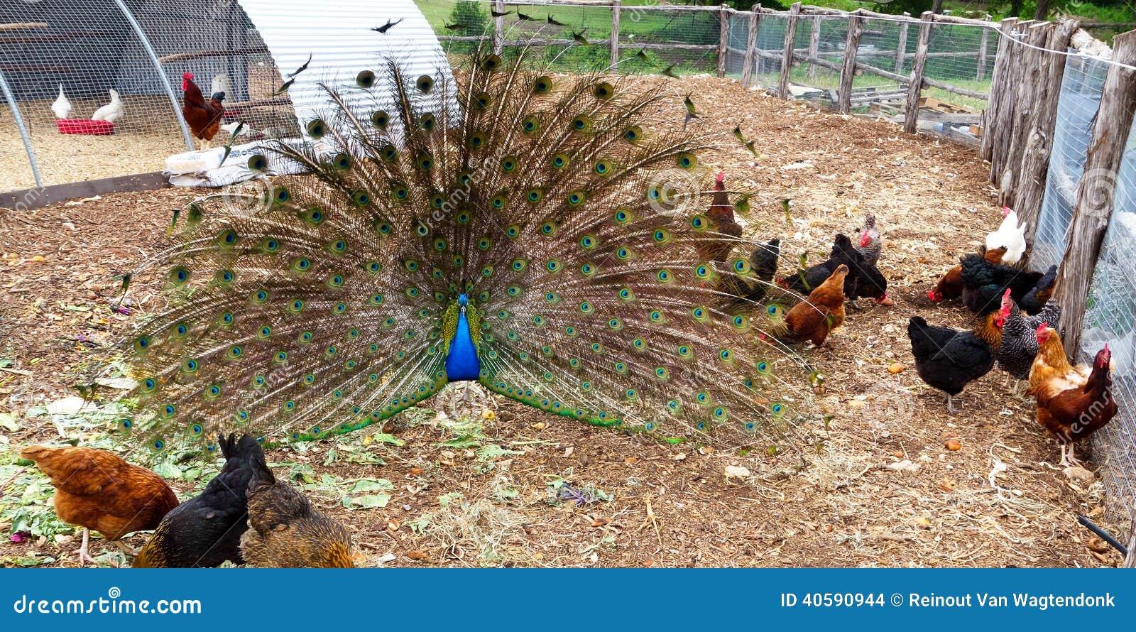 Pavão com galinhas