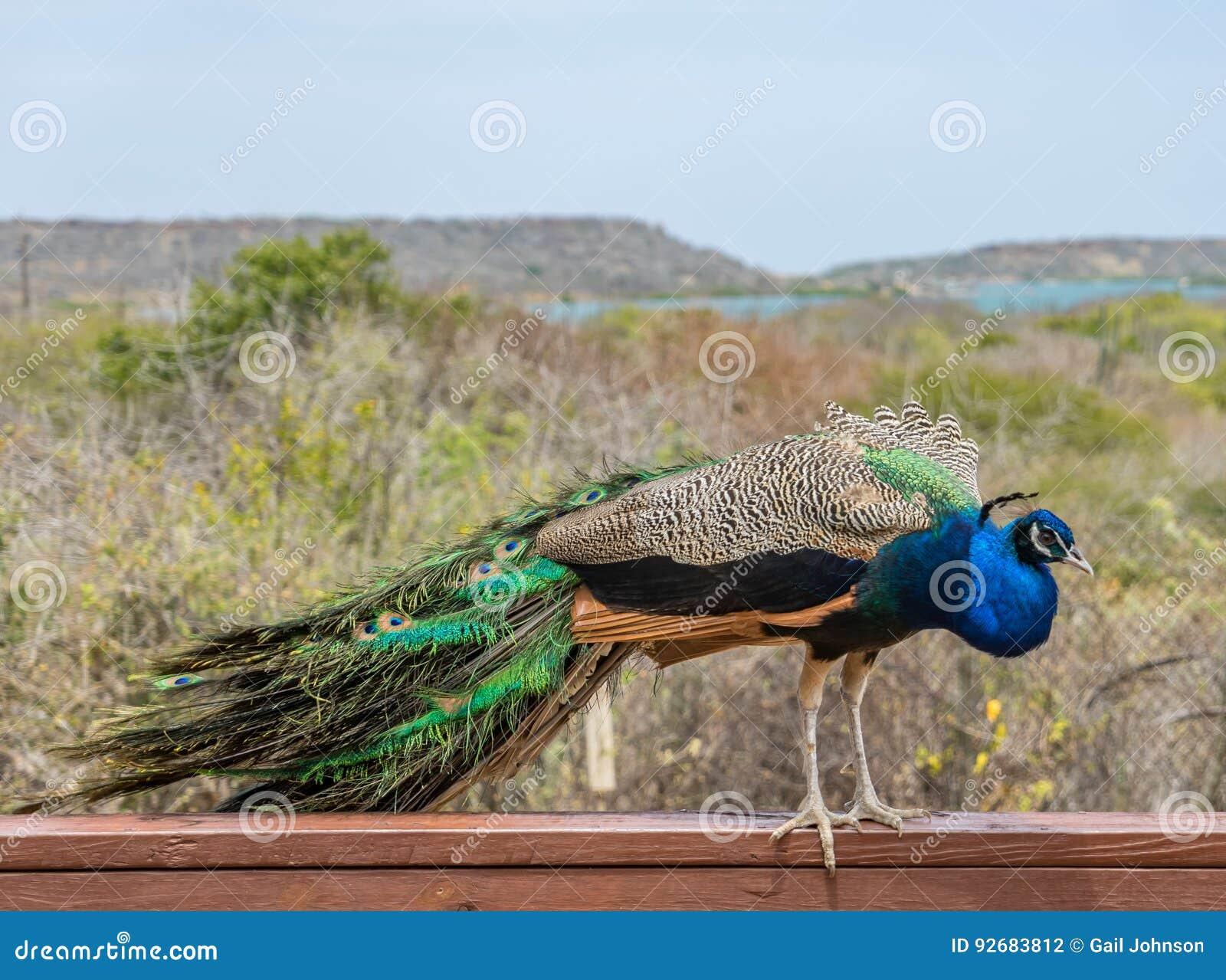 Pavão em uma cerca Curacao Views