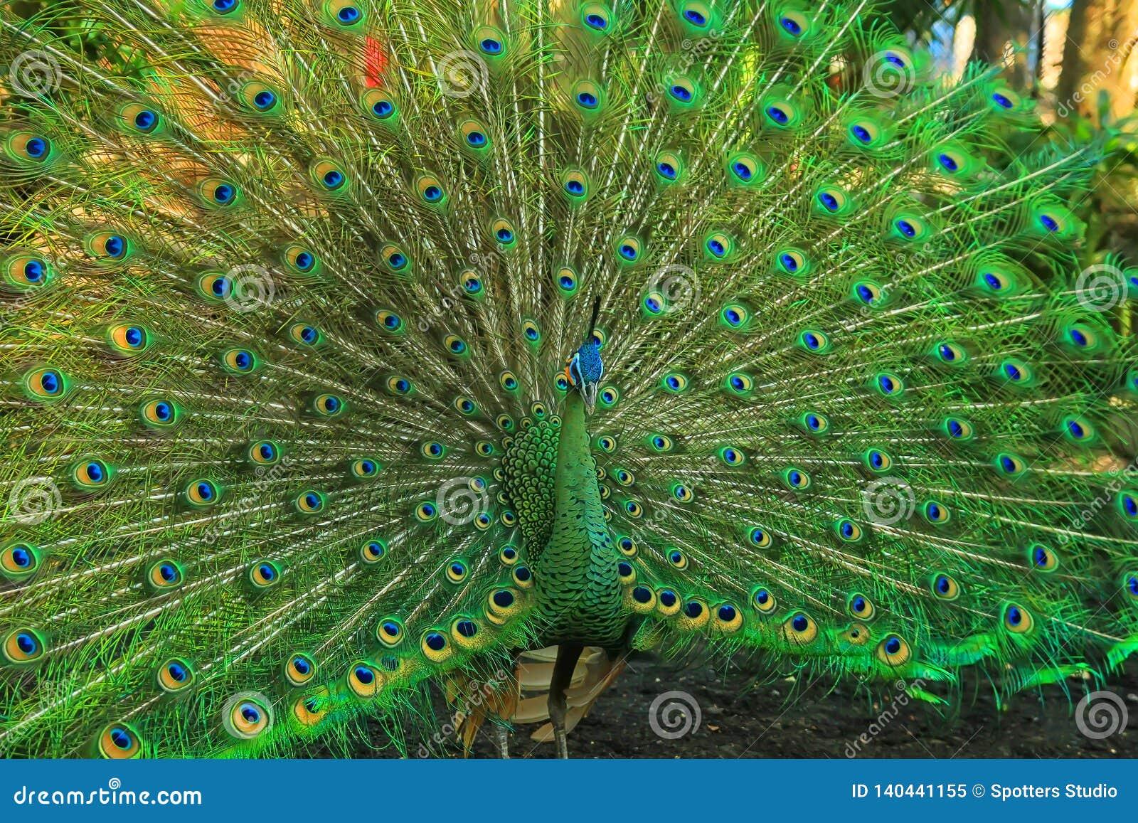 Pavão verde com uma cauda bonita