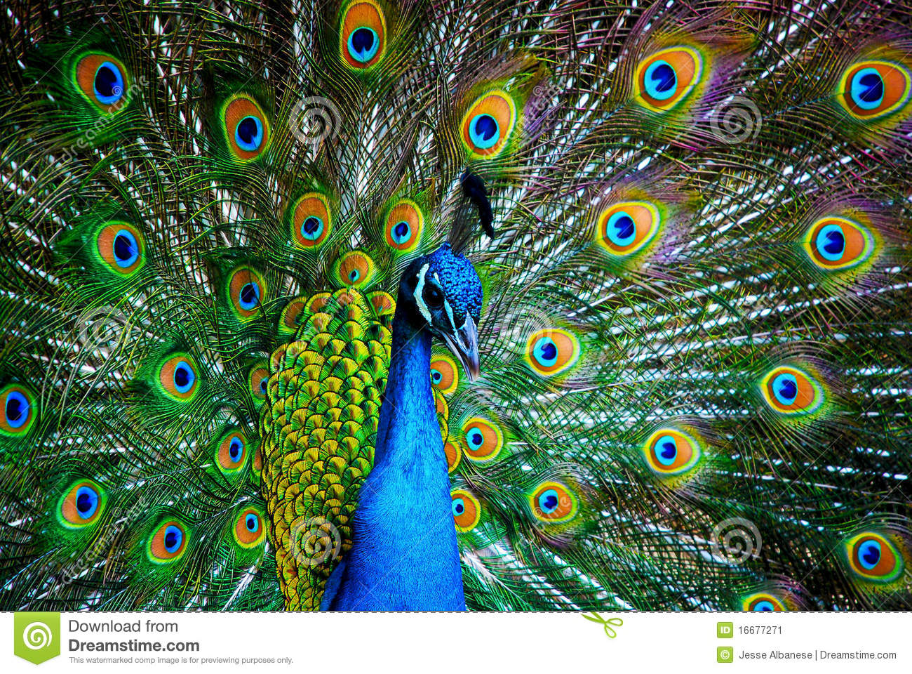Perfecto Pavo Real A Color Componente - Enmarcado Para Colorear ...