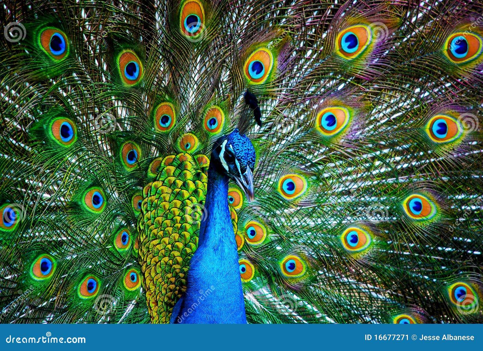 Pavo real imagen de archivo imagen de peacock p jaros 16677271 - Fotos de un pavo real ...