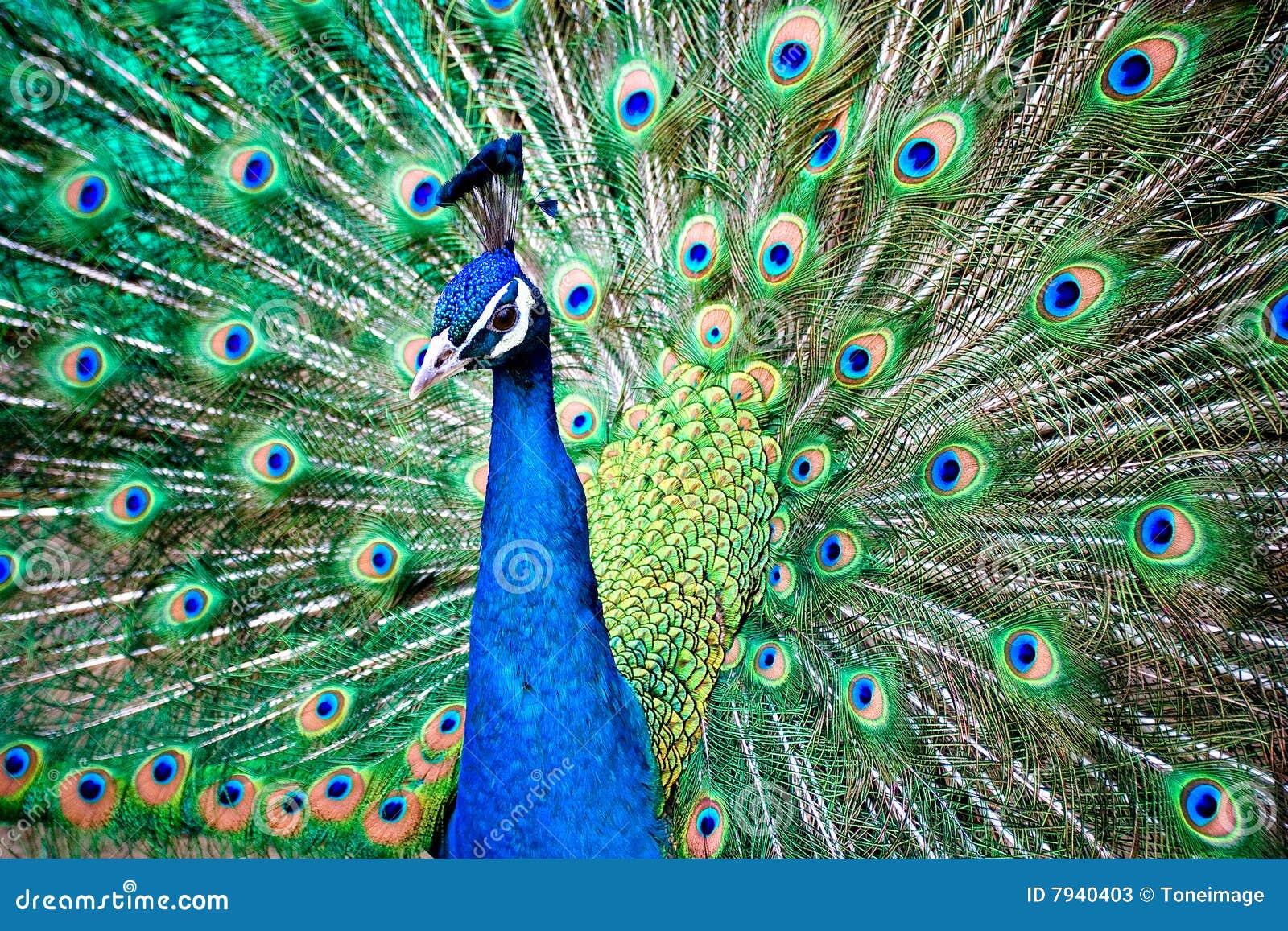 Pavo real imagen de archivo imagen de p jaros color - Fotos de un pavo real ...