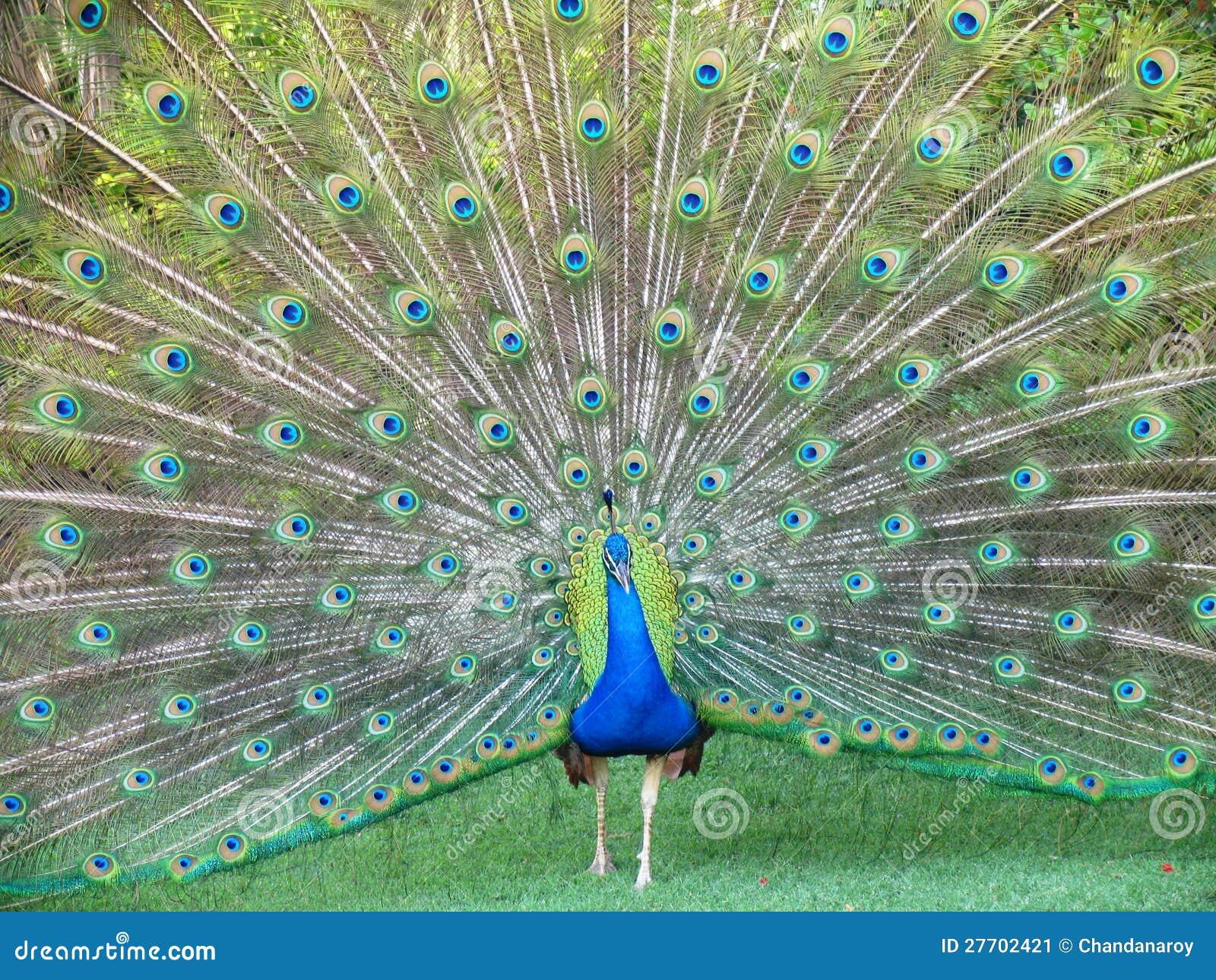 Pavo real del baile imagen de archivo imagen de verde - Fotos de un pavo real ...