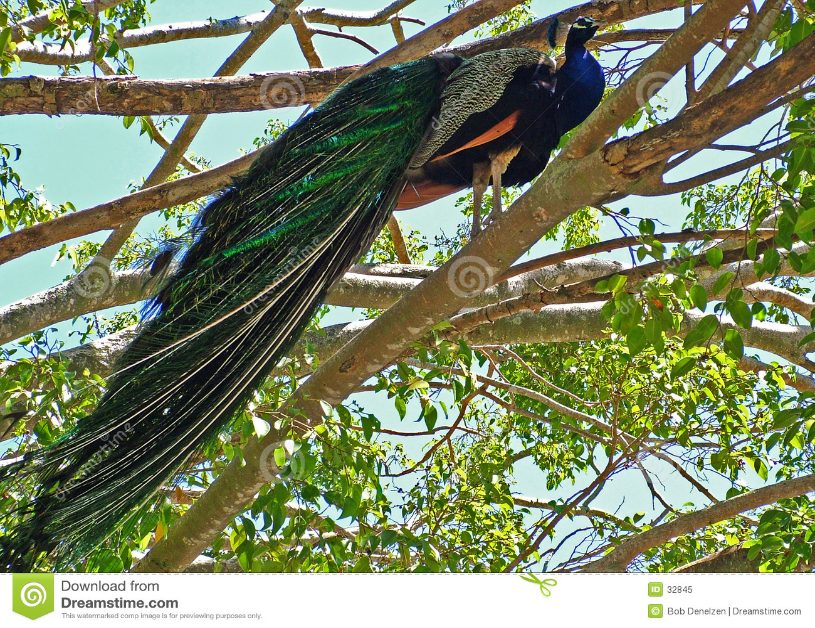 Download Pavo real orgulloso imagen de archivo. Imagen de peacock - 32845